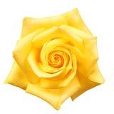 изолированный желтый цвет розы Стоковое Изображение