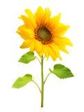 Изолированный завод солнцецвета Стоковая Фотография RF