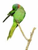 Изолированный зеленый попыгай стоковое изображение