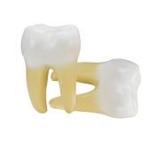изолированный зуб Стоковая Фотография RF