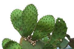 Изолированный кактус шиповатой груши с улитками Стоковая Фотография