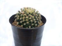 изолированный кактус Стоковая Фотография RF