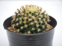 изолированный кактус Стоковое фото RF
