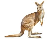 Изолированный кенгуру Стоковое Изображение