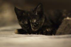 изолированный котенок играя белизну Стоковое Изображение RF