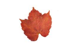 изолированный красный цвет листьев Стоковая Фотография