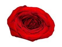 изолированный красный цвет поднял Стоковые Фотографии RF