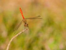 Изолированный красный dragonfly на окуне Стоковые Фотографии RF
