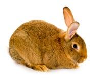 изолированный кролик Стоковая Фотография