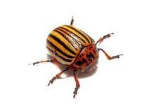 Изолированный крупный план жука Колорадо Стоковые Фото