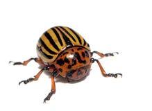 Изолированный крупный план жука Колорадо Стоковое фото RF