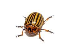 Изолированный крупный план жука Колорадо Стоковое Фото