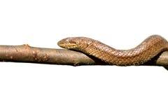 Изолированный крупный план ровной змейки взбираясь на ветви Стоковое фото RF