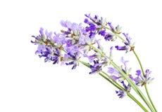 Изолированный крупный план цветений лаванды Стоковые Фотографии RF