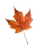 Изолированный кленовый лист сахара осени Стоковая Фотография RF