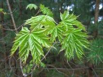 изолированный клен листьев Весна Стоковая Фотография