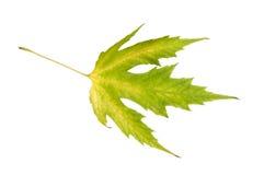 изолированный клен листьев Зелен-желтый Осень Стоковые Изображения RF