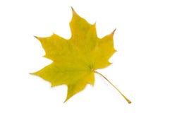 изолированный клен листьев Зелен-желтый Осень Стоковые Фотографии RF