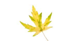 изолированный клен листьев Зелен-желтый Осень Стоковое Фото