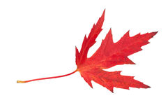изолированный клен листьев Красный Осень Стоковое Фото