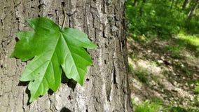 изолированный клен листьев символ Дерево Стоковая Фотография