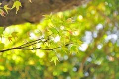 изолированный клен листьев Стоковые Изображения RF