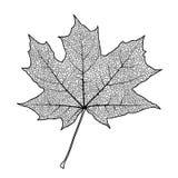 изолированный клен листьев Стоковые Фото
