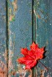 изолированный клен листьев Стоковая Фотография RF