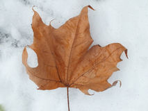 изолированный клен листьев Стоковое Изображение