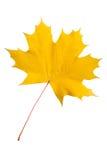 изолированный клен листьев Стоковое Фото