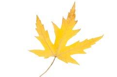 изолированный клен листьев yellow Осень Стоковое Фото