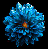 Изолированный макрос георгина цветка сюрреалистического влажного темного моря хрома голубой стоковое фото