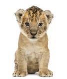 Изолированный новичок льва, 4 недели старой, Стоковые Изображения RF