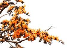 Изолированный оранжевый цветок драчевого Teak Стоковое Изображение