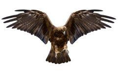 Изолированный орел, Стоковое Фото