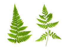Изолированный орнамент зеленых листьев папоротника Стоковая Фотография