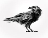 Изолированный покрашенный сидя ворон птицы Стоковое Изображение