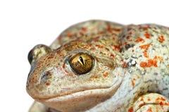 Изолированный портрет жабы чеснока Стоковые Изображения