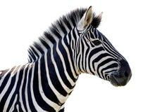 Изолированный портрет зебры - стоковое изображение