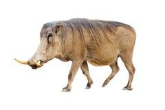 Изолированный профиль Warthog Стоковая Фотография