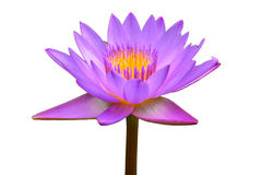 изолированный пурпур лотоса Стоковое Изображение RF