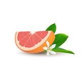 Изолированный реалистический покрашенный кусок сочного розового грейпфрута цвета с зелеными лист, белым цветком и тенью на белой  иллюстрация штока