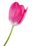 изолированный розовый тюльпан Стоковое Изображение