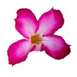 Изолированный розовый цветок с белой предпосылкой Стоковые Изображения RF