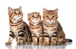 Изолированный сидеть 3 шотландский котят, на белизне Стоковые Изображения RF