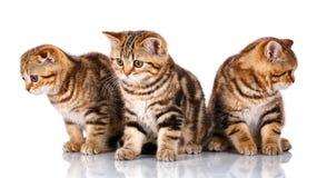 Изолированный сидеть 3 шотландский котят, на белизне Стоковое Фото