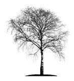Изолированный силуэт дерева березы Стоковая Фотография