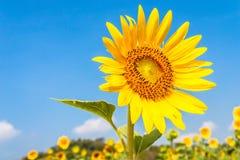 изолированный солнцецвет Стоковые Изображения RF