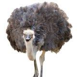 Изолированный страус Стоковое Фото