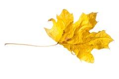 Изолированный сухой кленовый лист Стоковая Фотография